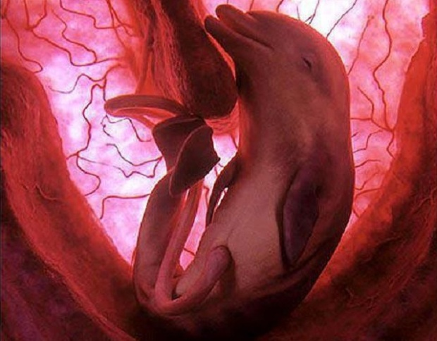 dolphin-in-womb